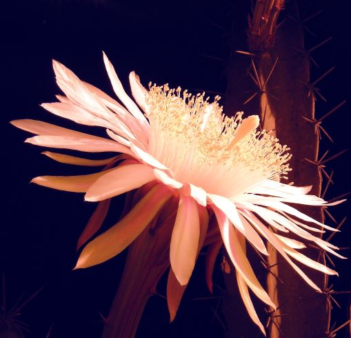 Nocturnal flower. Absolutely stunning.