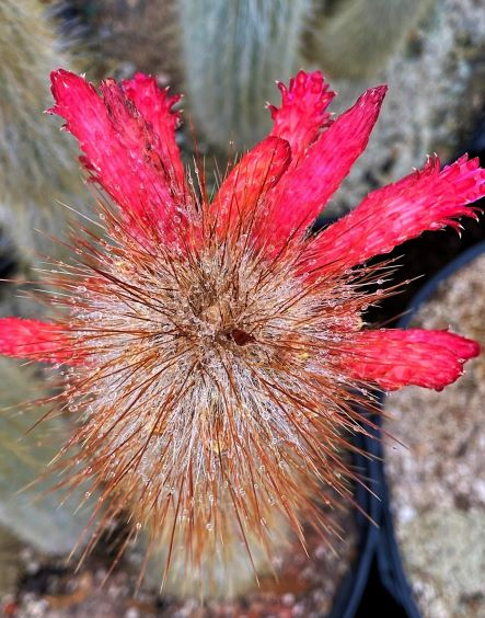 Cleistocactus strausii in bloom. Amazed!?!? We are!