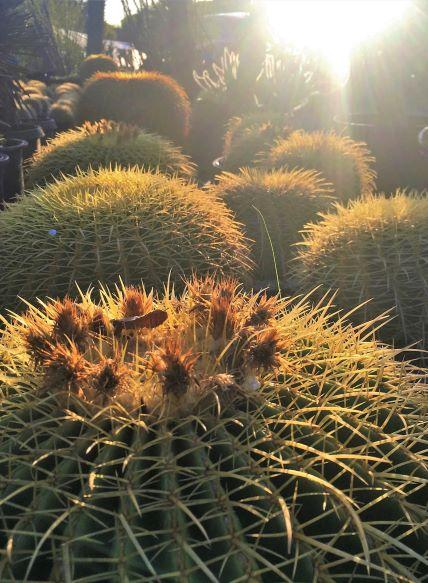Echinocactus grusonii lit up by morning sun.