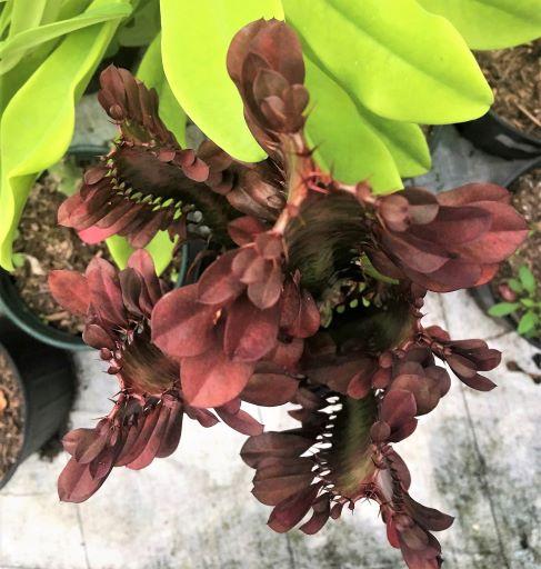 Euphorbia trigona var. Rubra