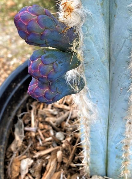 Flower buds forming on a 5 gallon specimen.
