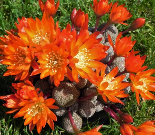 Rebutia heliosa in full bloom. Spectacular!